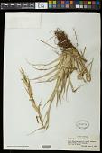 view Vriesea drepanocarpa (Baker) Mez digital asset number 1