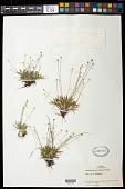 view Paepalanthus caldensis Malme digital asset number 1