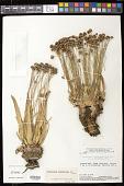 view Paepalanthus scholiophyllus Ruhland digital asset number 1