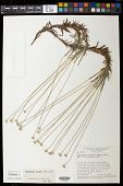 view Actinocephalus incanus (Bong.) F.N. Costa digital asset number 1