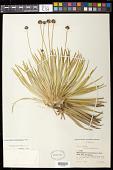 view Paepalanthus itatiaiensis Ruhland digital asset number 1