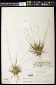 view Leiothrix flagellaris var. pedunculosa (Ruhland) Giul. digital asset number 1