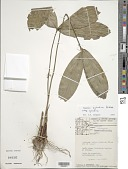 view Mapania sylvatica Aubl. subsp. sylvatica digital asset number 1