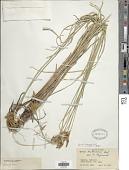 view Bolboschoenus glaucus (Lam.) S.G. Sm. digital asset number 1