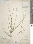 view Ephedra antisyphilitica Berland. ex C.A. Mey. digital asset number 1
