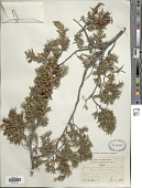 view Juniperus formosana digital asset number 1