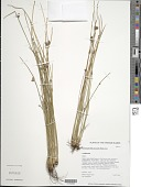 view Schoenoplectiella juncoides (Roxb.) Lye digital asset number 1