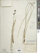 view Schoenoplectus brachyceras (Hochst. ex A. Rich.) Lye digital asset number 1