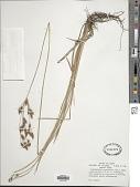 view Fimbristylis caroliniana (Lam.) Fernald digital asset number 1