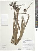 view Hypolytrum longifolium subsp. sylvaticum (Poepp. & Kunth) T. Koyama digital asset number 1