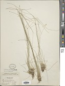 view Eleocharis tuberculosa (Michx.) Roem. & Schult. digital asset number 1