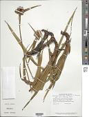 view Mapania tepuiana (Steyerm.) T. Koyama digital asset number 1