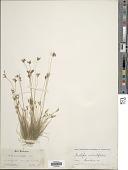 view Bulbostylis ciliatifolia (Elliott) Fernald digital asset number 1