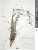 view Cyperus incomtus digital asset number 1