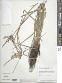view Cyperus luzulae (L.) Rottb. ex Retz. digital asset number 1