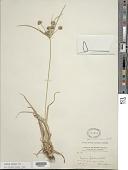view Cyperus croceus Vahl digital asset number 1