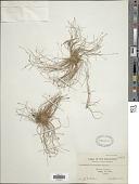 view Fimbristylis acicularis R. Br. digital asset number 1