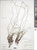 view Cyperus dubius Rottb. digital asset number 1