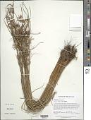 view Cyperus sphacelatus Rottb. digital asset number 1
