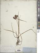 view Cyperus nitidus Lam. digital asset number 1