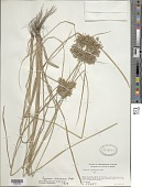 view Cyperus ochraceus Vahl digital asset number 1