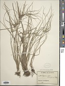 view Cyperus cuanzensis Ridl. digital asset number 1