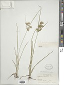view Cyperus dentatus Torr. digital asset number 1