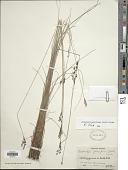 view Bulbostylis junciformis (Kunth) C.B. Clarke digital asset number 1