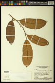 view Helicostylis tomentosa (Poepp. & Endl.) Rusby digital asset number 1