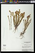 view Microlicia castrata Naudin digital asset number 1