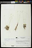 view Syngonanthus caulescens digital asset number 1