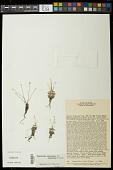 view Syngonanthus glandulosus Gleason digital asset number 1