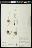 view Syngonanthus gracilis var. gracilis digital asset number 1