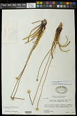 view Comanthera xeranthemoides (Bong.) L.R. Parra & Giul. var. xeranthemoides digital asset number 1