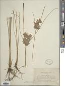 view Cyperus globosus Forssk. digital asset number 1