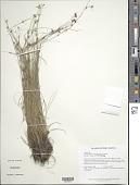 view Rhynchospora tenerrima Nees ex Spreng. digital asset number 1