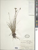view Rhynchospora albida (Nees) Boeckeler digital asset number 1