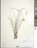 view Rhynchospora nervosa (Vahl) Boeckeler subsp. nervosa digital asset number 1