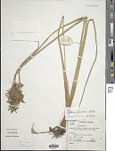 view Cyperus procerus Rottb. digital asset number 1