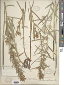 view Dulichium arundinaceum (L.) Britton digital asset number 1