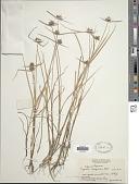 view Cyperus sanguinolentus Vahl digital asset number 1