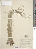 view Eleocharis macrostachya Britton digital asset number 1