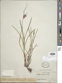 view Scleria ciliata var. elliottii (Chapm.) Fernald digital asset number 1