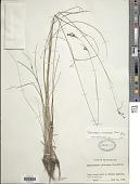 view Rhynchospora microcarpa Baldwin ex A. Gray digital asset number 1