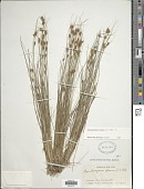 view Rhynchospora fusca (L.) W.T. Aiton digital asset number 1