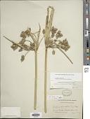 view Bolboschoenus fluviatilis (Torr.) Soják digital asset number 1