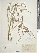 view Cyperus difformis sensu Blanco non L. digital asset number 1
