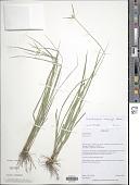 view Rhynchospora warmingii Boeckeler digital asset number 1
