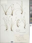 view Eleocharis pauciflora (Lightf.) Link digital asset number 1