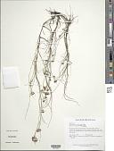 view Rhynchospora riparia (Nees) Boeckeler digital asset number 1